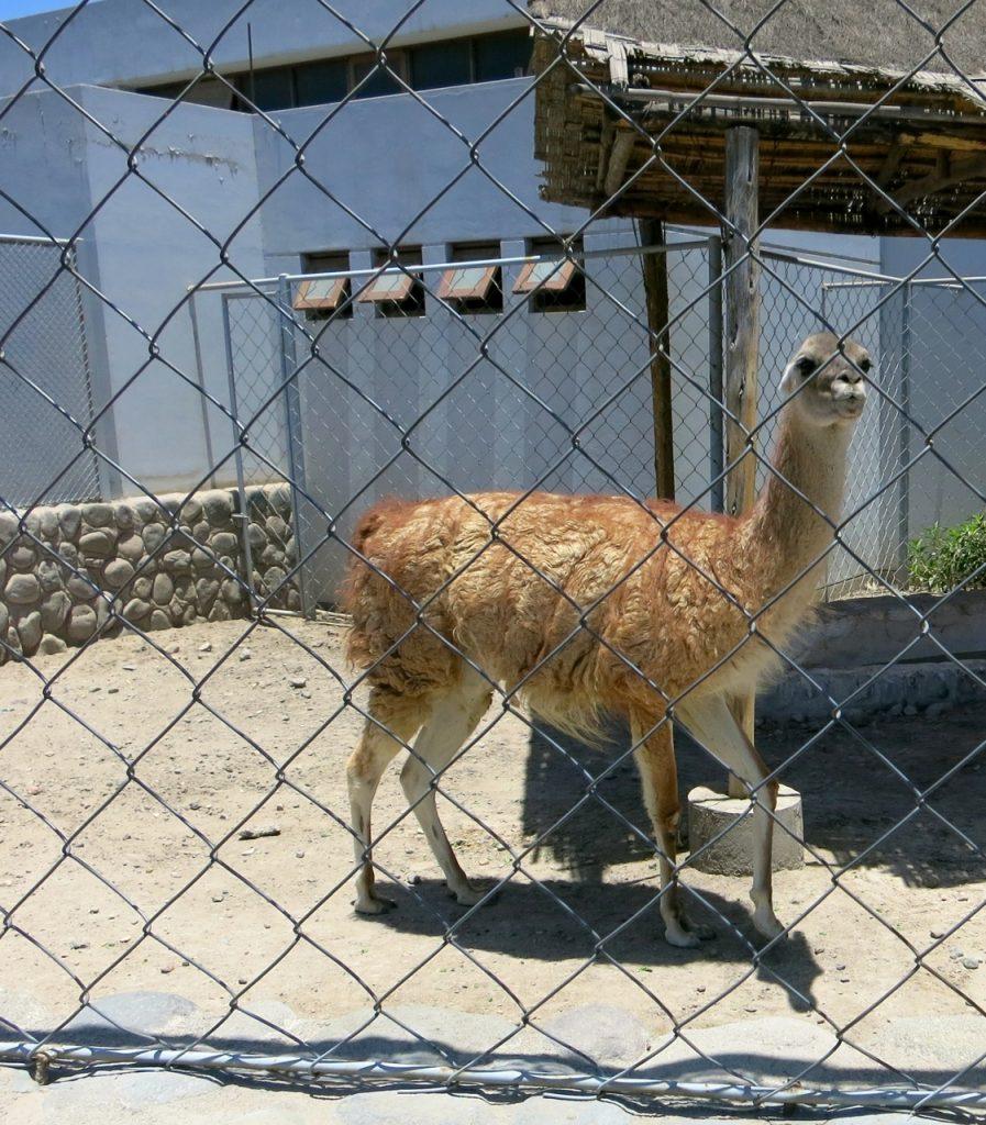 Zoeiras Peruanas 1-02