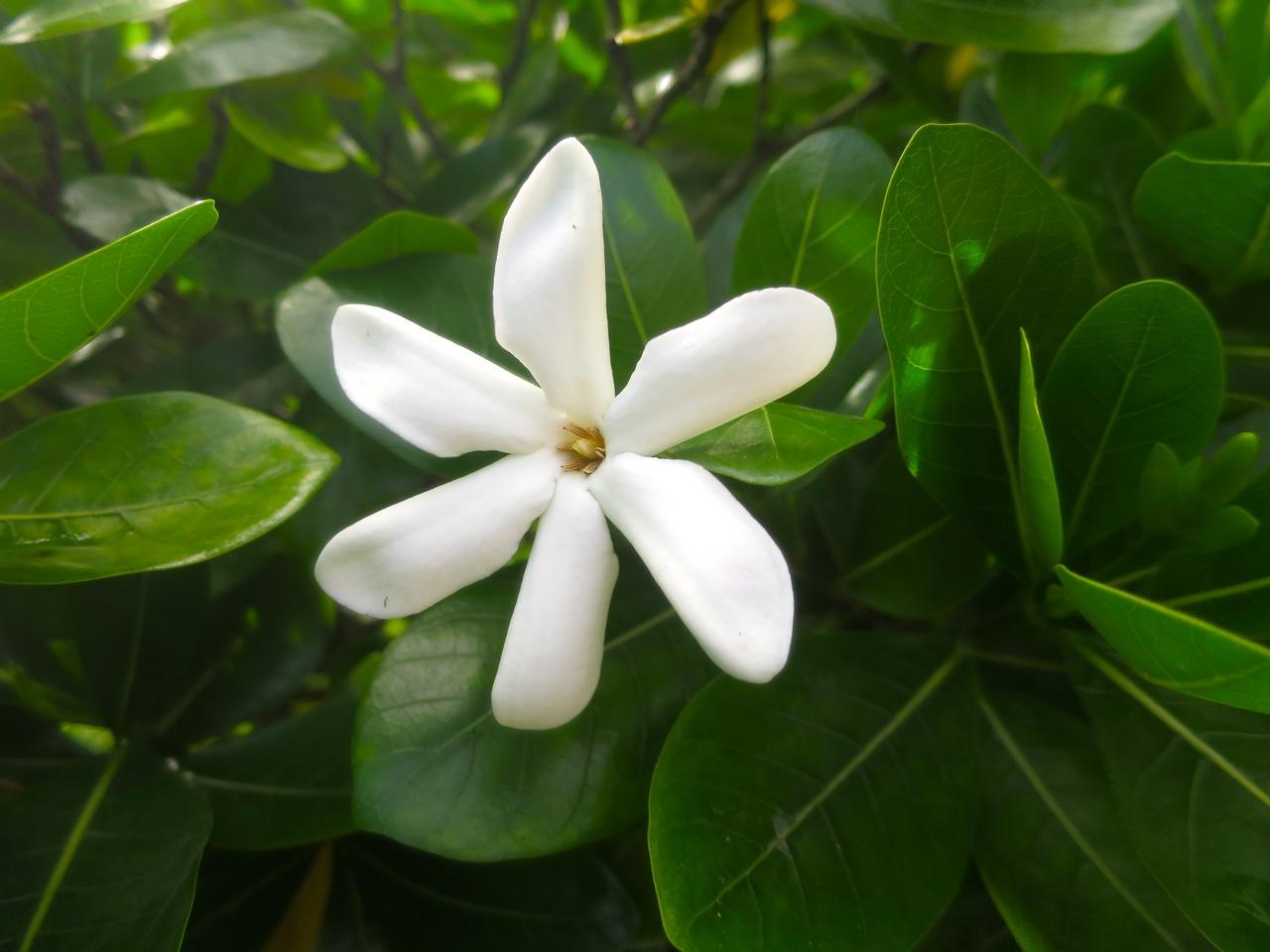 Taiti flores 1 18
