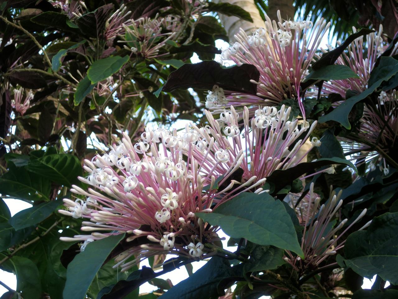 Taiti flores 1 04