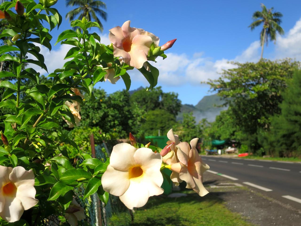 Taiti flores 1 05