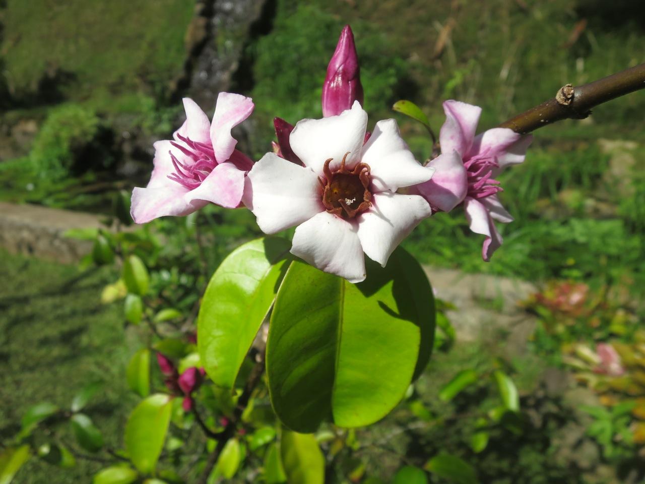 Taiti flores 1 11