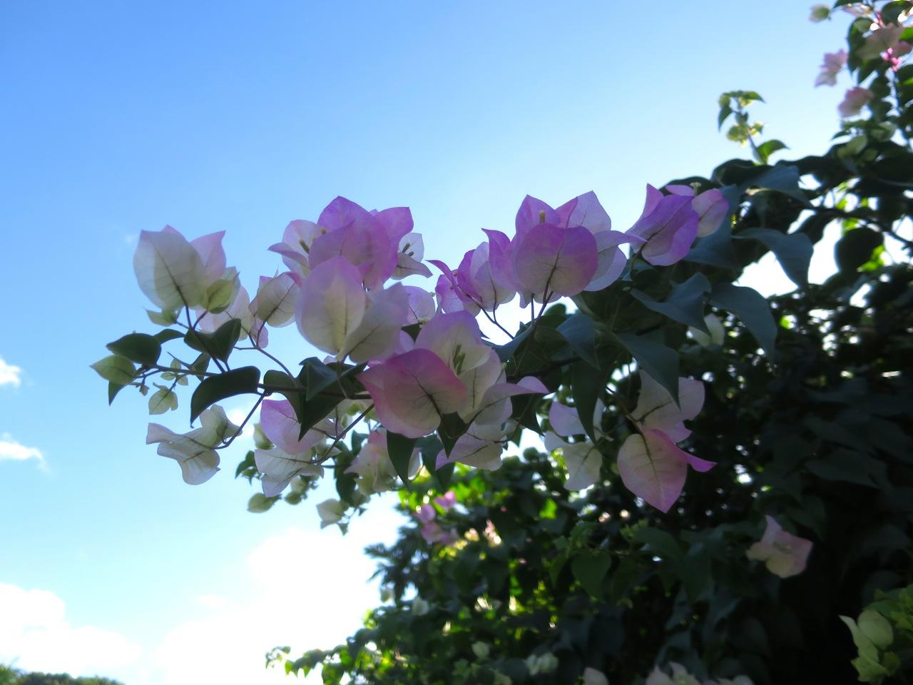 Taiti flores 1 17