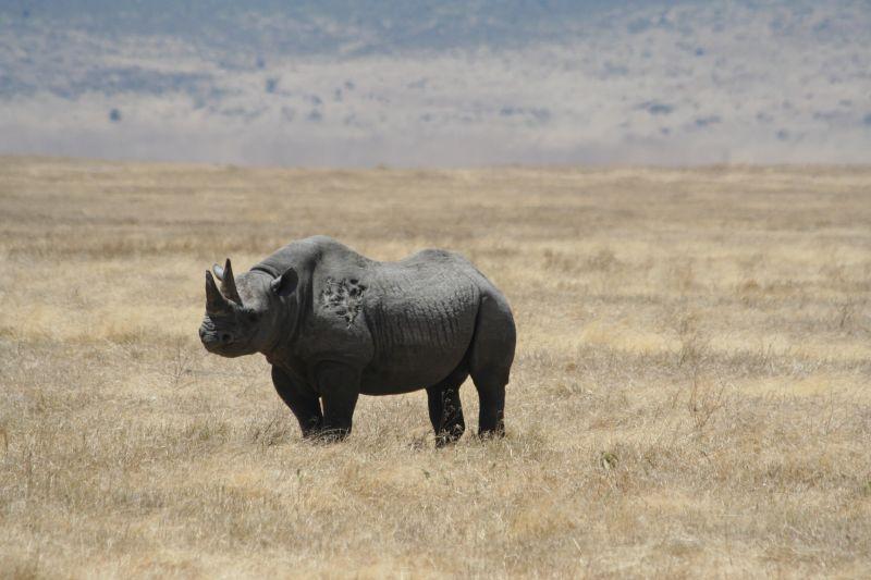 Rinoceronte negro em Ngorongoro