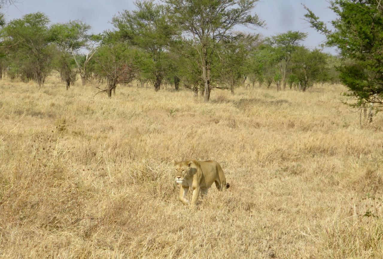 Serengeti 1 08b