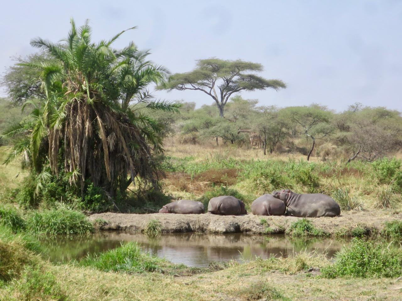 Serengeti 1 17