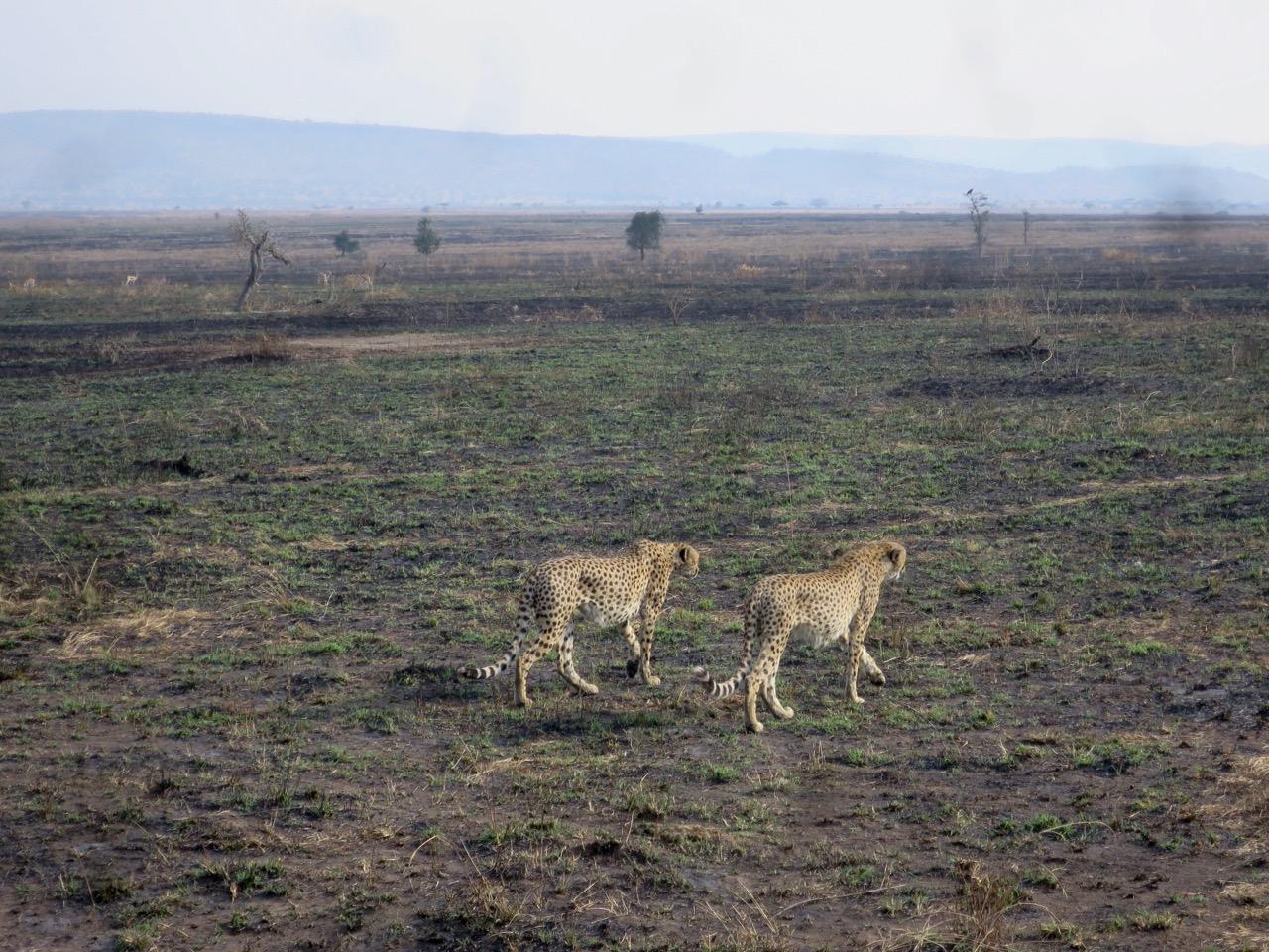 Serengeti 1 31