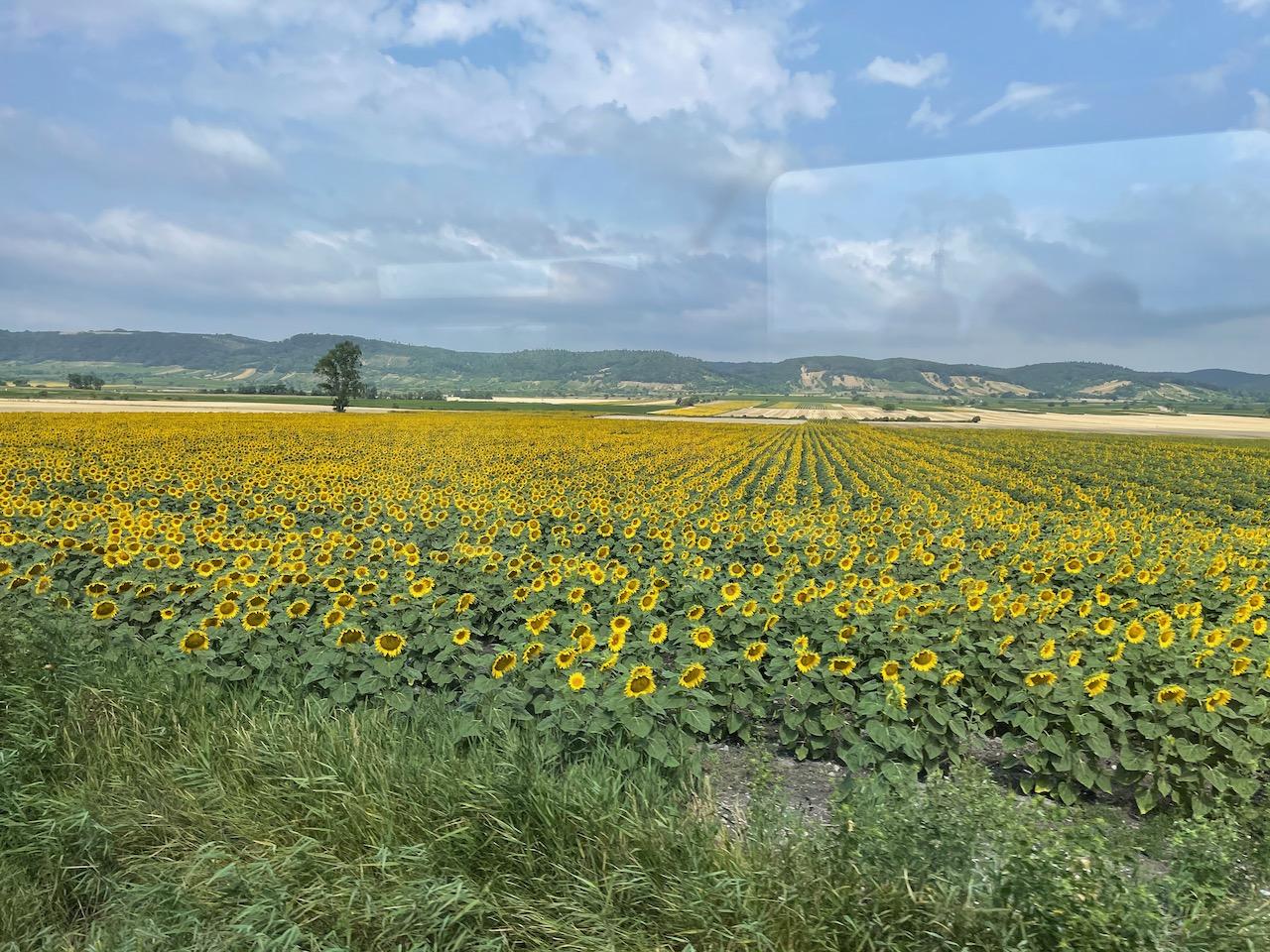 Campo de girassóis na Áustria
